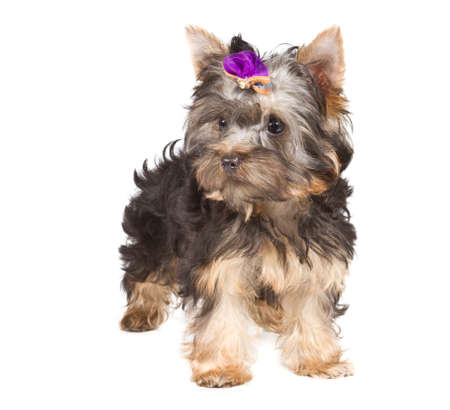 Yorkshire terrier looking at the camera in a head shot, against a white background photo