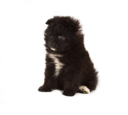 Spitz puppy in front of white background . Pomeranian dog isolated on a white background photo