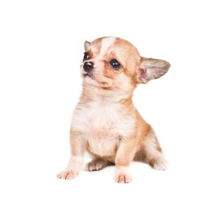 chihuahua puppy (3 months) in front of a white background photo