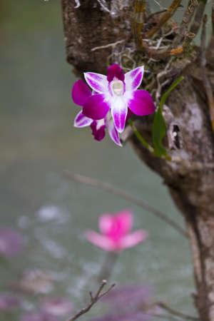 Beautiful orchid - phalaenopsis photo