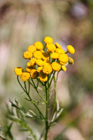 vulgare: yellow herb tanacetum vulgare on background leaf