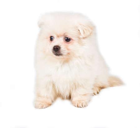 Pomeranian Spitz puppy on a white background photo