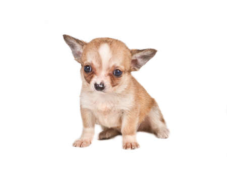 chihuahua puppy (3 months) in front of a white background Stock Photo - 11955591