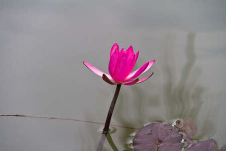 blossom lotus flower in Japanese pond; focus on flower photo