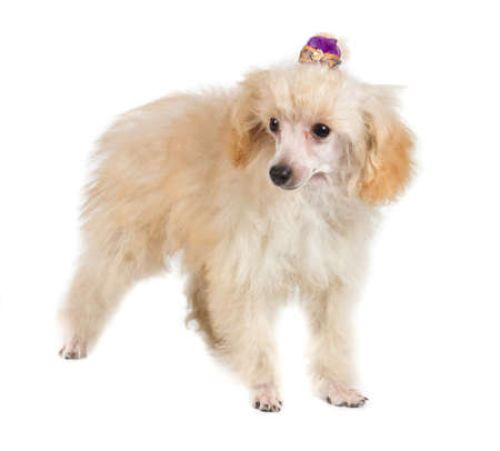Apricot poodle puppy portrait on a white background photo