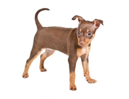Russian toy terrier on a white background Stock Photo - 12001063