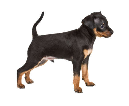 Russian toy terrier on a white background Stock Photo - 12001092