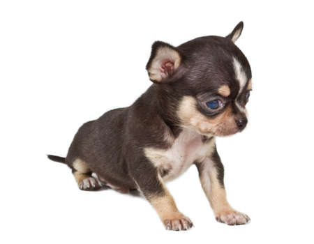 chihuahua puppy Stock Photo - 12001272