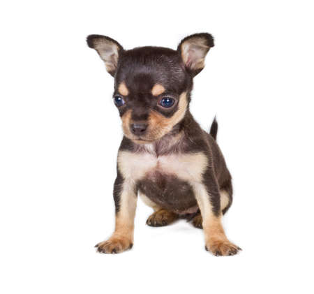 chihuahua puppy Stock Photo - 12001046