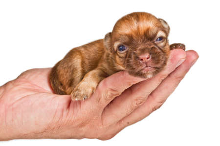 Chihuahua puppy on white background photo