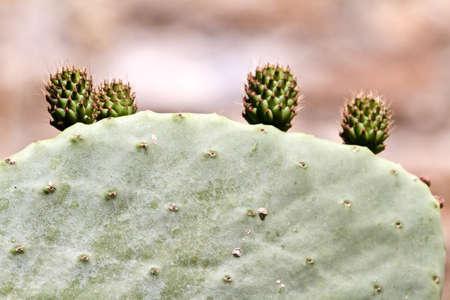 opuntia: Close up of opuntia cactuses