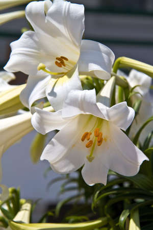 lilia: white lilly