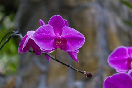 Beautiful orchid - phalaenopsis photo
