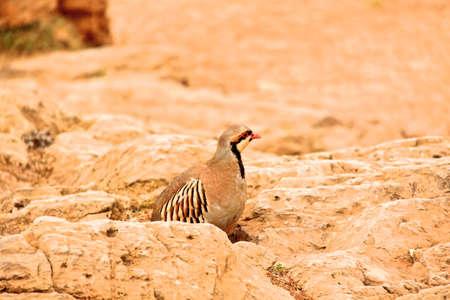 kuropatwa: Partridge (Alectoris rufa). Zdjęcie Seryjne