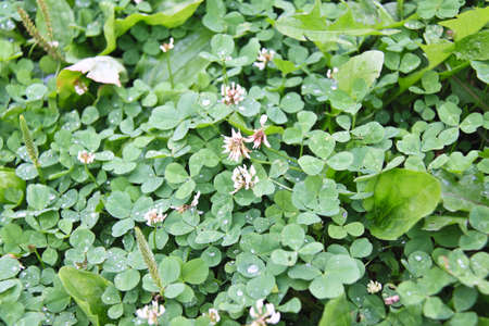 green clover background Stock Photo - 12292591