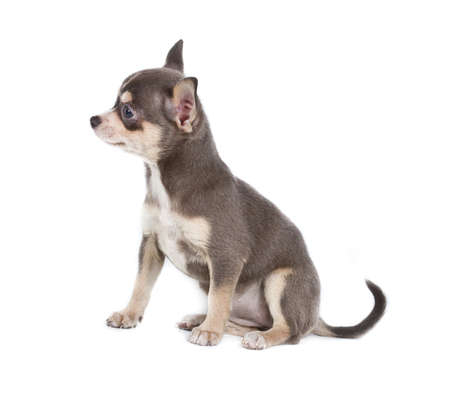 Chocolate and white Chihuahua puppy, 8 weeks old, standing in front of white background photo