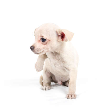 minuscule: chihuahua puppy  in front of a white background