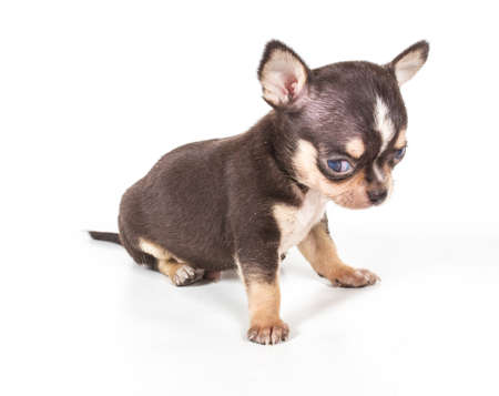 chihuahua puppy Stock Photo - 12709321