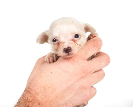 chihuahua puppy Stock Photo - 12709068