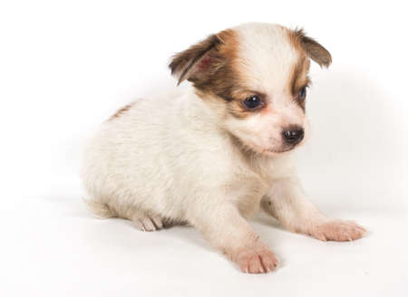 chihuahua puppy Stock Photo - 12708918