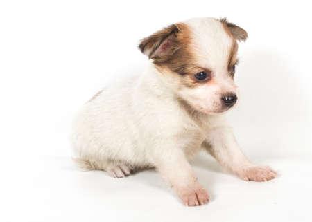 chihuahua puppy photo