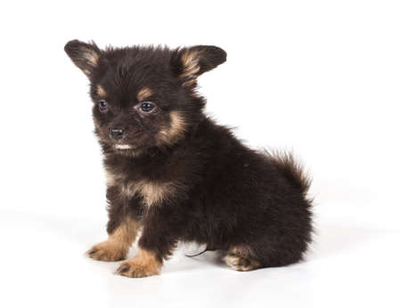 lap dog: Spitz puppy in front of white background . Pomeranian dog isolated on a white background