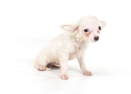 Funny puppy Chihuahua poses on a white background Stock Photo - 12709779