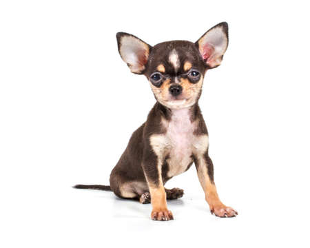 Funny puppy Chihuahua poses on a white background Foto de archivo