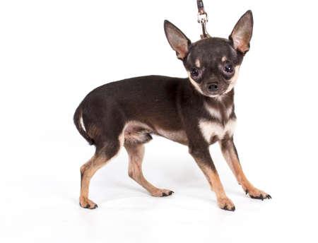 toy terrier: Toy Terrier si siede su uno sfondo bianco Archivio Fotografico