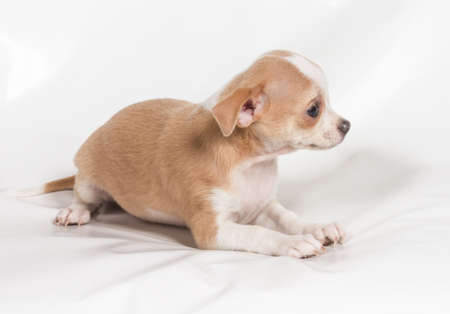 Chihuahua puppy on white background Stock Photo - 12709190