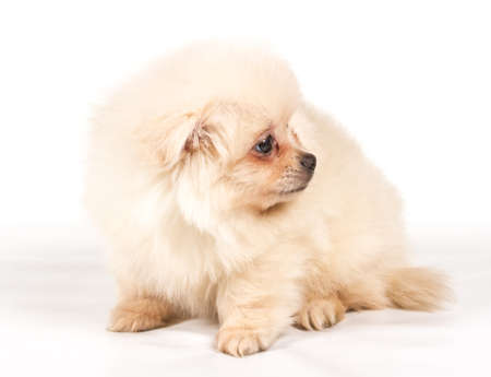 Pomeranian Spitz puppy on a white background photo