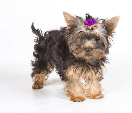 Yorkshire terrier looking at the camera in a head shot, against a white background Stock Photo - 12708429