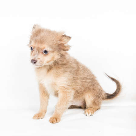 minuscule: chihuahua puppy (3 months) in front of a white background Stock Photo