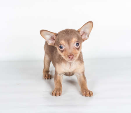 Russian toy terrier on a white background Stock Photo - 12975748