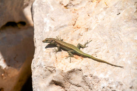 viviparous lizard: common lizard
