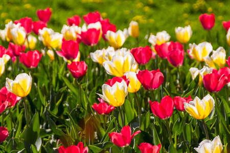 tulips in spring sun Stock Photo - 14069097
