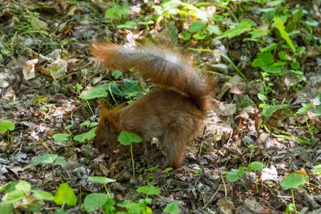 Red Eurasian squirrel photo