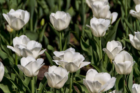 tulips in spring sun photo