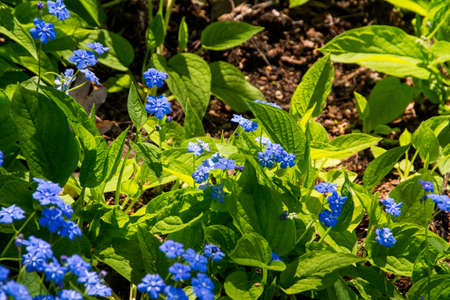 Forget me not blooming flowers and petals photo