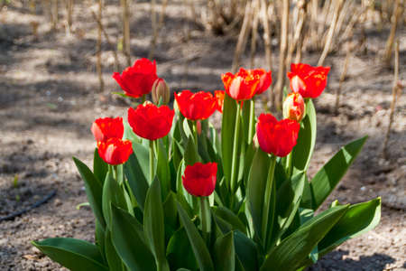 tulips in spring sun Stock Photo - 14363456