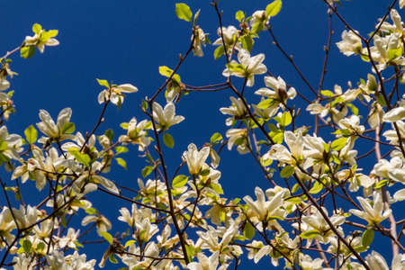 Blossoming of magnolia flowers in spring time photo