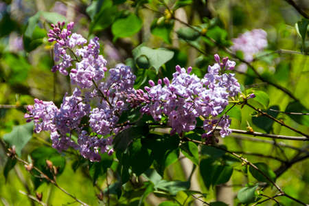 Green branch with spring lilac flowers photo