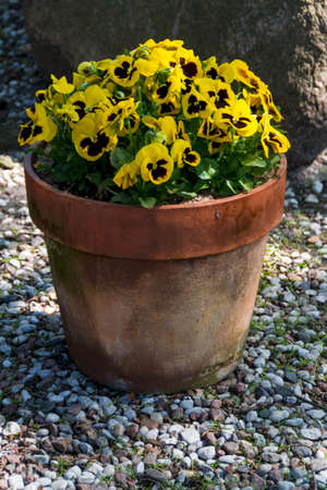 Spring flowers in the garden - Beautiful spring or easter scene with potted pansies photo