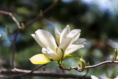 Blossoming of magnolia flowers in spring time Stock Photo - 14428580