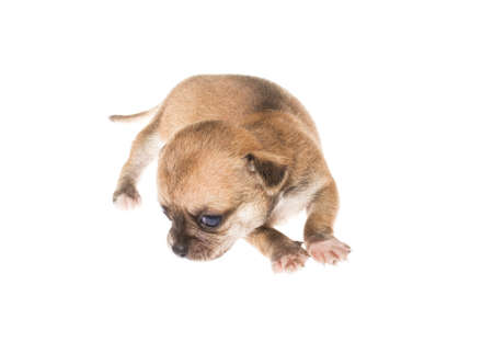 surprised dog: Funny puppy Chihuahua poses on a white background Stock Photo