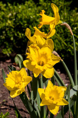 Narcissus and daffodil spring flower photo