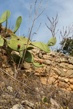 Opuntia ficus-indica ( called also as Indian fig opuntia, barbary fig, prickly pear ) Stock Photo - 16713613