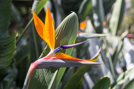 Strelitzia reginae- flower Bird of Paradise photo