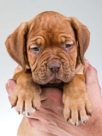 bordeaux dog photo