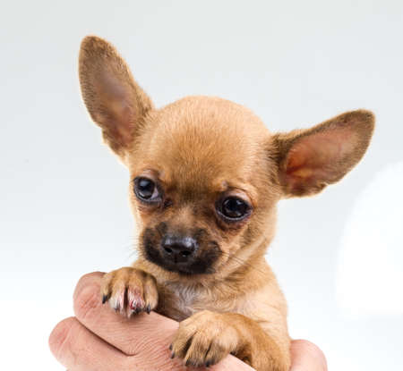 expressive portrait Chihuahua puppy photo